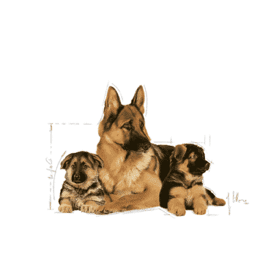 maxi_starter_royal_canin
