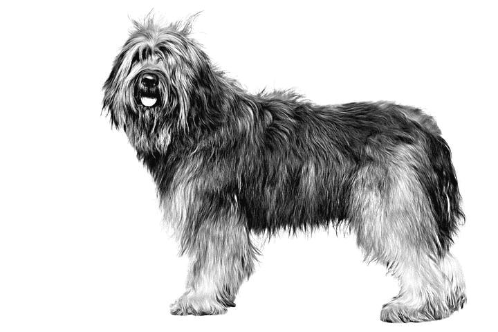 cane-da-pastore-catalano-ritratto