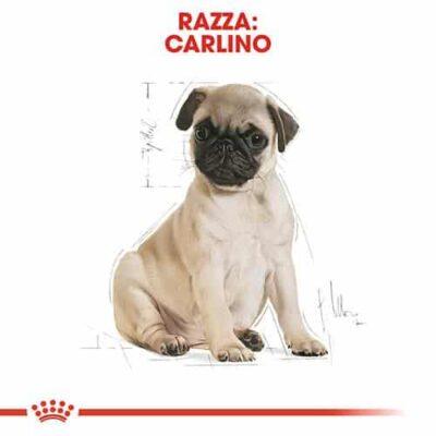 carlino_puppy
