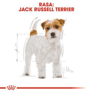 jack_russel