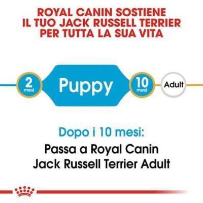 jack_russel_puppy
