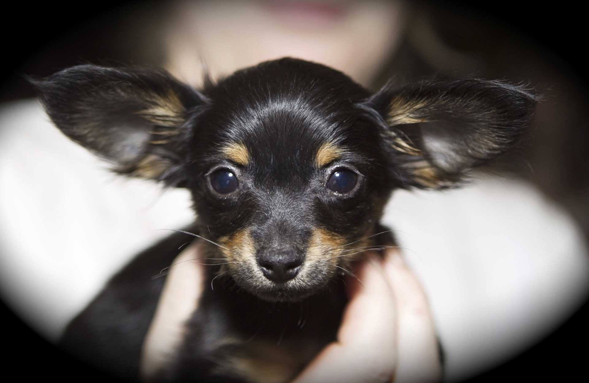 russkiy-toy-puppy-mini