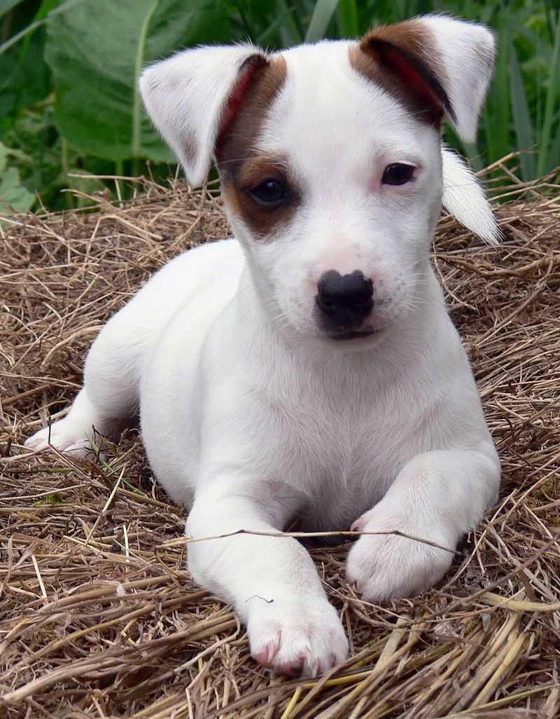 Jack_Russell_Terrier_Puppy