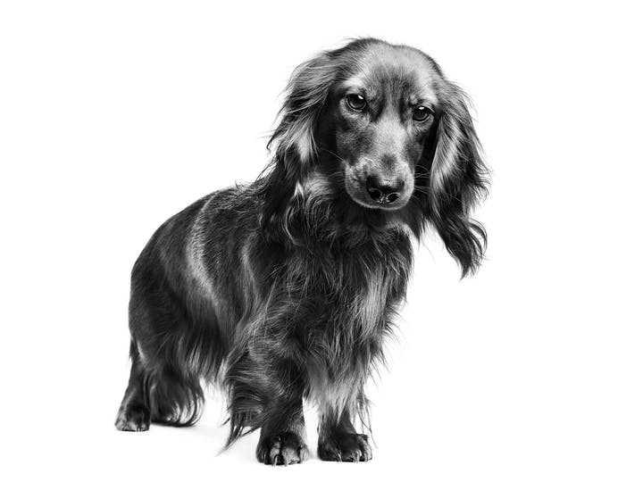 bassotto-tedesco-royal-canin