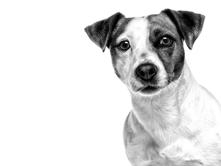 jack-russell-terrier-adult-black-and-white-royal-canin