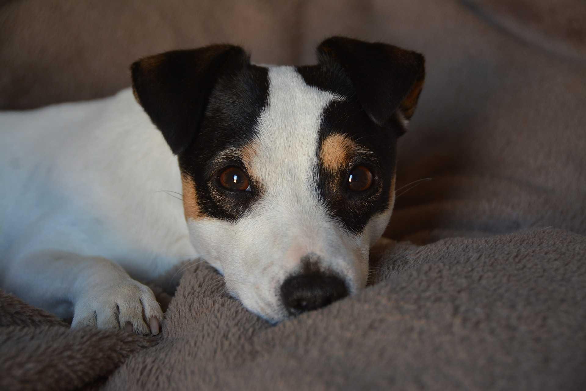 royal-canin-jack-russel-black-little-puppy