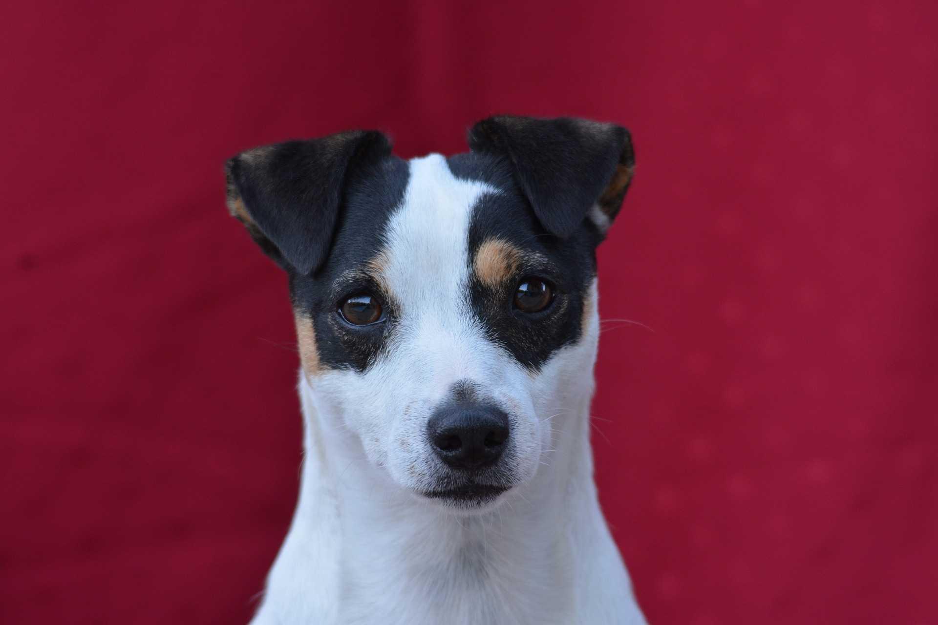 terrier-jack-russel-marrone-nero-puppy