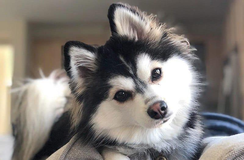 pomsky-americano-puppy-bianco-nero